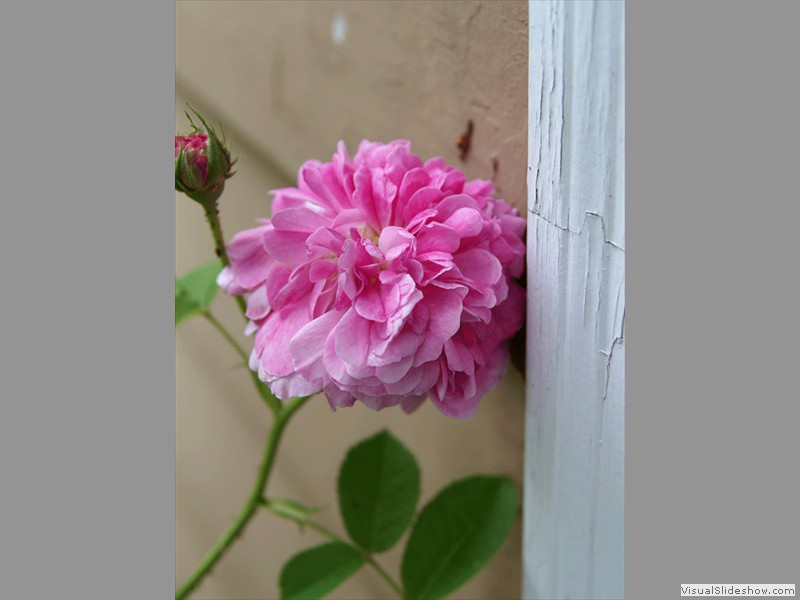 Grandma LaGrange's Roses<br/>Backyard photo by Doug Ferris