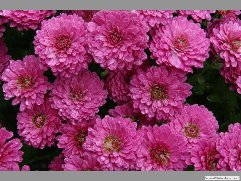 Pink Mums<br/>Backyard photo by Doug Ferris