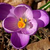 Purple Crocus<br/>Backyard photo by Doug Ferris