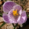 Purple & White Crocus<br/>Backyard photo by Doug Ferris