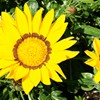 Sunflower at Neighbor's House<br/>Backyard photo by Doug Ferris