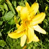 Yellow Lilies<br/>Backyard photo by Doug Ferris